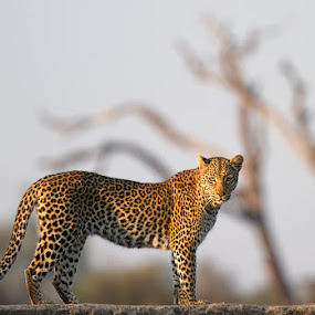 Leopard on a wall by Buddy Eleazer - Animals Lions, Tigers & Big Cats ( south africa, timbavati, leopard )