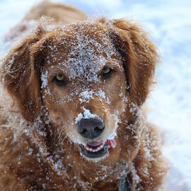 Snow Day by Gail Leopold - Animals - Dogs Portraits ( snowy fun, dog, golden retriever )