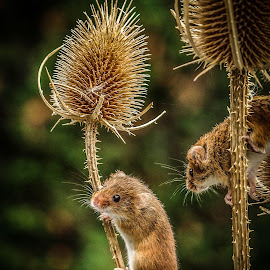 Mice by Garry Chisholm - Animals Other Mammals ( mice, garry chisholm, mouse, nature, wildlife, rodent )