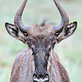 Bluewildebeest Portrait by Pieter J de Villiers - Animals Other ( mammals, animals, other, bluewildebeest, portrait, pilanesberg national park )