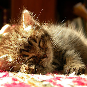 Sibilla stanchissima.JPG