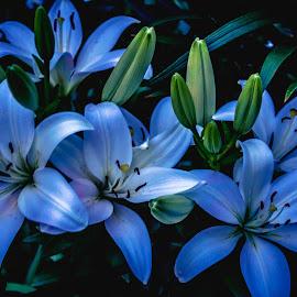 Gona Make My White Lilies Blue by Julie Wooden - Flowers Flower Gardens ( north dakota, lilies, hebron, blue hour, white, landscape, nature, blue, outdoors, night, scenery, flowers, evening, night shot )