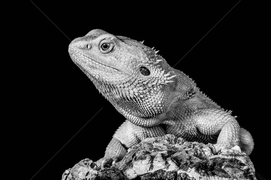 Beardie by Garry Chisholm - Black & White Animals ( sigma, bearded dragon, macro, nature, workshop, reptile, lizard, garry chisholm, canon )