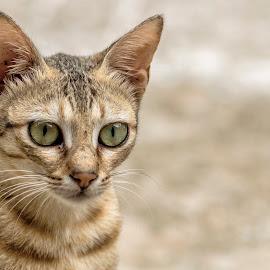 by Neelakantan Iyer - Animals - Cats Portraits