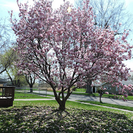 Its Gorgeous Sight... by Linda McCormick - Nature Up Close Trees & Bushes ( pink flowers, pretty tree, magnolia tree, spring, magnolia,  )