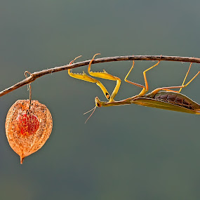 European Mantis by Simon Kovacic - Animals Insects & Spiders ( mantis religiosa, european mantis, praying mantis,  )
