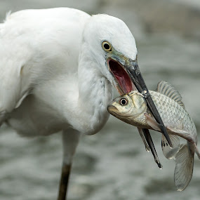 Little Egret Catching Fish by Ken Cheung - Animals Birds ( bird, fish, catch, little egret, egret )