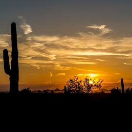 by Ken Mickel - Landscapes Sunsets & Sunrises ( desert, backlighting, photography, backlit, cacti, nature, backlit photography, arizona, outdoors, backlighting photography, panoramic, cactus, saguaro )