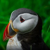 Atlantic Puffin Wallpapers HD APK Icon
