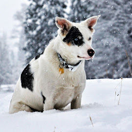 Loop in the Snow - 4372 by Twin Wranglers Baker - Animals - Dogs Portraits (  )