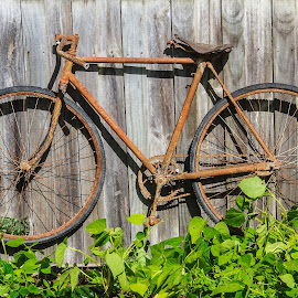 Old Bicycle by Simon Shee - Transportation Bicycles ( manna tree, australia, foster, gippsland, community garden, bicycle,  )