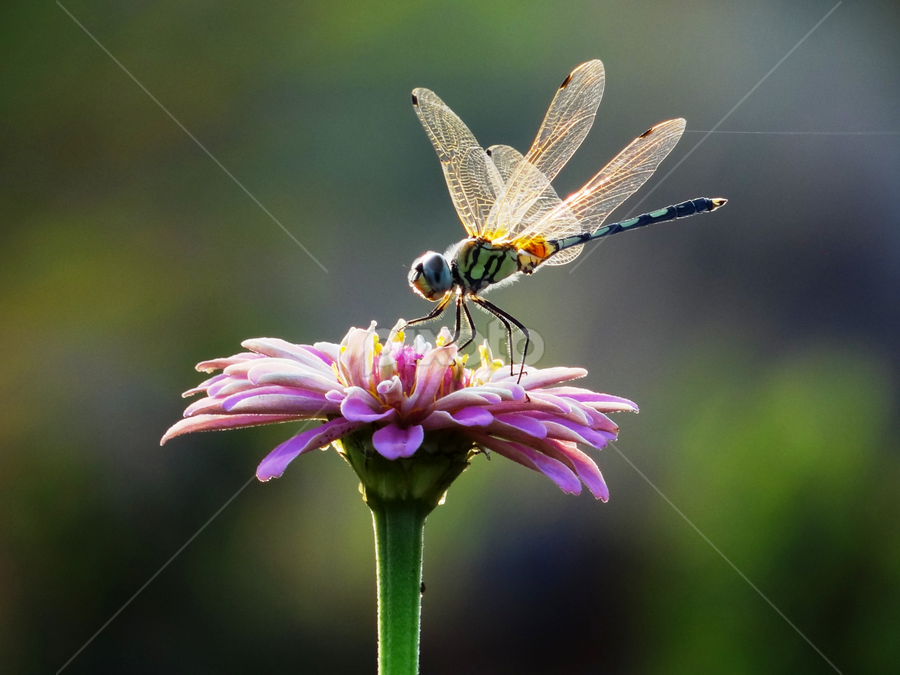 pink flower by Nani Garu - Animals Insects & Spiders ( macro, wings, pink, dragonfly, flower )
