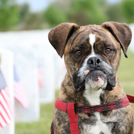 Red, White, and Blue Boxer by Kari Schoen - Animals - Dogs Portraits ( canine, patriotic, brindle, boxer dog, patriotism, dog )