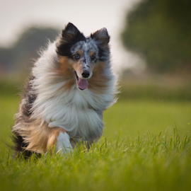 Happy face by 'Monique Smit - Animals - Dogs Running ( happy face, sheltie )