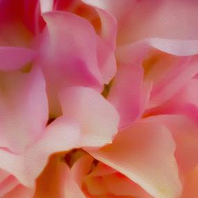 Rose petals by Danny Bruza - Flowers Flower Arangements