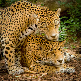 Male Leopard Wooing His Mate by Kevin Beasley - Animals Lions, Tigers & Big Cats ( leopard, cat, zoo, big cat,  )