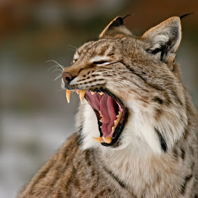 Sharp Teeth by Friedhelm Peters - Animals Other Mammals