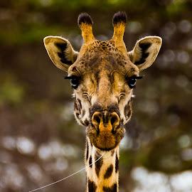 Gazing by Ilan Abiri - Animals Other Mammals ( wild, serengeti, colors, beautiful, wildlife, travel, tanzania, mammal, portrait, nature, giraffe, safari, africa, animal )
