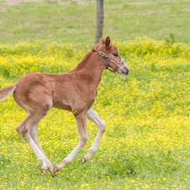 A Young Filly by Emily Carter Mitchell - Animals Horses ( farm, animals, foals, horses, wolfcreekequine, farmlife )