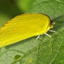Large Orange Sulphur?