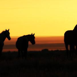 Nightfall by Kathy Tellechea - Animals Horses (  )