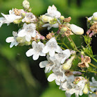White Beardtongue