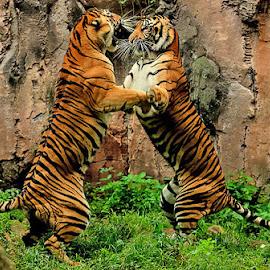 Let's Dance by Yohanes Arief Dewanto - Animals Lions, Tigers & Big Cats ( wild, tiger, sumatran_tiger, bigcat, animal )