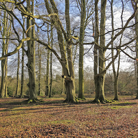 Waiting for Spring by Mark Thompson - Landscapes Forests ( wood, trunks, ashridge, trees, national trust, fallen leaves, branches )