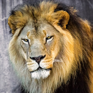 Lion-17.jpg