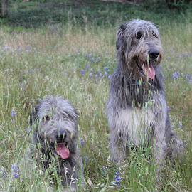 Logan and Max by Colette Griffin - Animals - Dogs Playing ( pets, irish wolfhound, dogs playing, dogs, dog portrait )