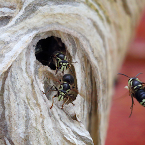 by Skip Spurgeon - Animals Insects & Spiders ( hornets )