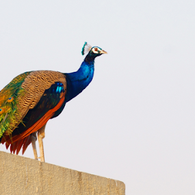 Mor by Mahesh Gadekar - Animals Birds ( peacock,  )