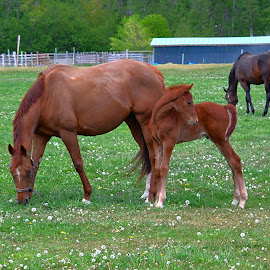Mother and Baby by Jennifer Parmelee - Animals Horses ( field, horses, color, green, baby, places )