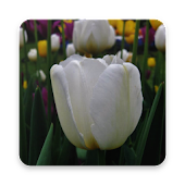 Download White Tulip Wallpapers HD APK on PC