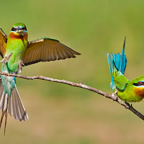 BLUE TAILED BEE-EATERS. by Mohan Munivenkatappa - Animals Birds
