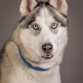 by Myra Brizendine Wilson - Animals - Dogs Portraits ( canine, dogs, pet, pets, dog, foster aspen, aspen, who )
