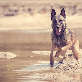 Daan by Wilma Heuvel - Animals - Dogs Running ( dogs, honden, mallinois, dog, mechelse herder, hunde, animal )