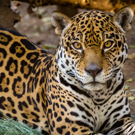 by Melissa Goldwood - Animals Lions, Tigers & Big Cats ( jaguar, cat, nature, wildlife )