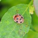 Ladybird (H. pusillanima)
