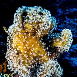 sharm_uw9 by Emanuele Pola - Animals Sea Creatures ( nauticam, underwater, sharm el sheikh, diving, olympus )