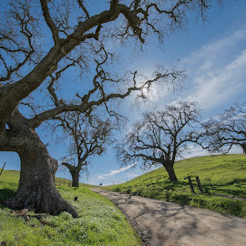 California Oaks by Jim Downey - Landscapes Prairies, Meadows & Fields ( promise of spring, trees, destination, green grass, country road )