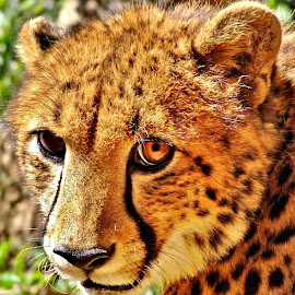 Cheeta by Jane Fourie - Animals Lions, Tigers & Big Cats ( big cat, face, nature up close, wildlife, eyes )