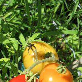 Sweet 100 Cherry Tomatoes by Rita Goebert - Nature Up Close Gardens & Produce ( home gardening; sweet 100; cherry tomatoes; red ripe; color progression of sweet 100s; salad tomatoes; )