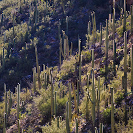 Sabino Canyon by Gannon McGhee - Landscapes Deserts ( backlight, arizona, tucson, canyon, sabino, cactus, saguaro )