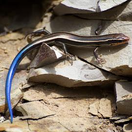 Skilton's Skink (Plestiodon skiltonianus skiltonianus) by Wade Tregaskis - Animals Reptiles ( skilton's skink, blue, skink, blue-tailed, striped )