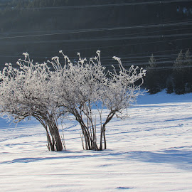 ICE TREE by Cynthia Dodd - Novices Only Flowers & Plants ( winter, nature, cold, ice, snow, bush )