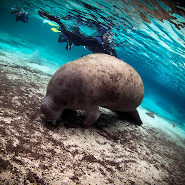 Shhhh - let him sleep by Pat Sinclair - Animals Sea Creatures ( florida wildlife, crystal river, three sisters springs, endangered wildlife, manatees )