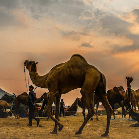 Let's Go Back...  by Vyom Saxena - City,  Street & Park  Historic Districts ( camel fair · pushkar camel fair · pushkar india · pushkar rajasthan · )