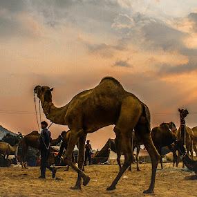 Let's Go Back...  by Vyom Saxena - City,  Street & Park  Historic Districts ( camel fair · pushkar camel fair · pushkar india · pushkar rajasthan · )