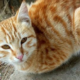 Kitty by Chintan Daiya - Animals - Cats Kittens ( cat, kitten, ginger, feline, kitty )